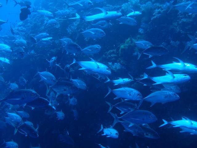 パラオの魚群